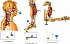 دانلود پاورپوینت كاربرد اهرمها در بدن  پاورپوینت كاربرد اهرمها در بدن كاربرد اهرمها در بدن تحقیق كاربرد اهرمها در بدن بررسی كاربرد اهرمها در بدن  تعیین نوع اهرمها در بدن عوامل موثر بر استفاده از اهرمهای آناتومیک طول بازوهای اهرم عوامل موثربراستفاده از اهرمهای آناتومیک بخشهای مختلف نیروی عضلانی با توجه به زاویه كشش مزیت مكانیكی اهرمها