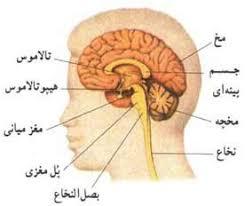 دانلود پاورپوینت سیستم اعصاب مرکزی انسان آناتومی سیستم اعصاب مرکزی انسان  دستگاه عصبی ویژگیهای بافت عصبی ساختار نرون تقسیمات نرونها از لحاظ ساختاری رشته های عصبی غلاف میلین نرولما هدایت جهشی سیناپس دستگاه عصبی مرکزی و محیطی مغز بخشهای مختلف مغز قشر مخ  لوبهای مغز لوب پیشانی  لوب آهیانه ای بطنهای مغز دیانسفالون تالاموس